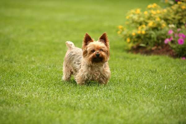 A healthy Cairn Terrier is standing on a green lawn.