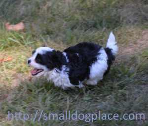 A small puppies is running as fast as he can