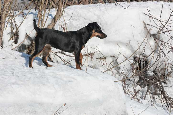 The Jagdterrier can have a wiry coat or a short smooth coat.