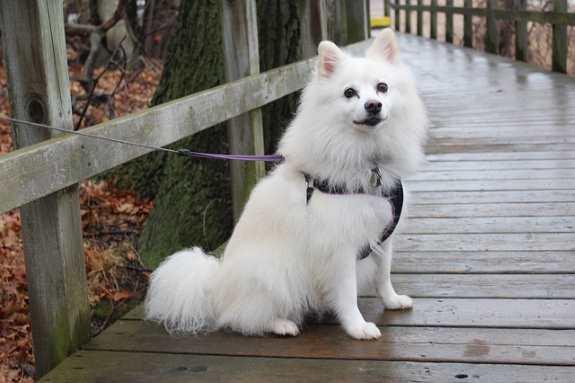American Eskimo Dog Small Dog Breed Profile