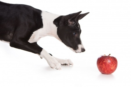 A Curious Basenji is eying an apple.