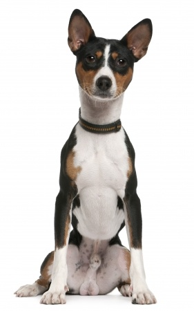 Basenji The Barkless Dog Is This The Breed For You