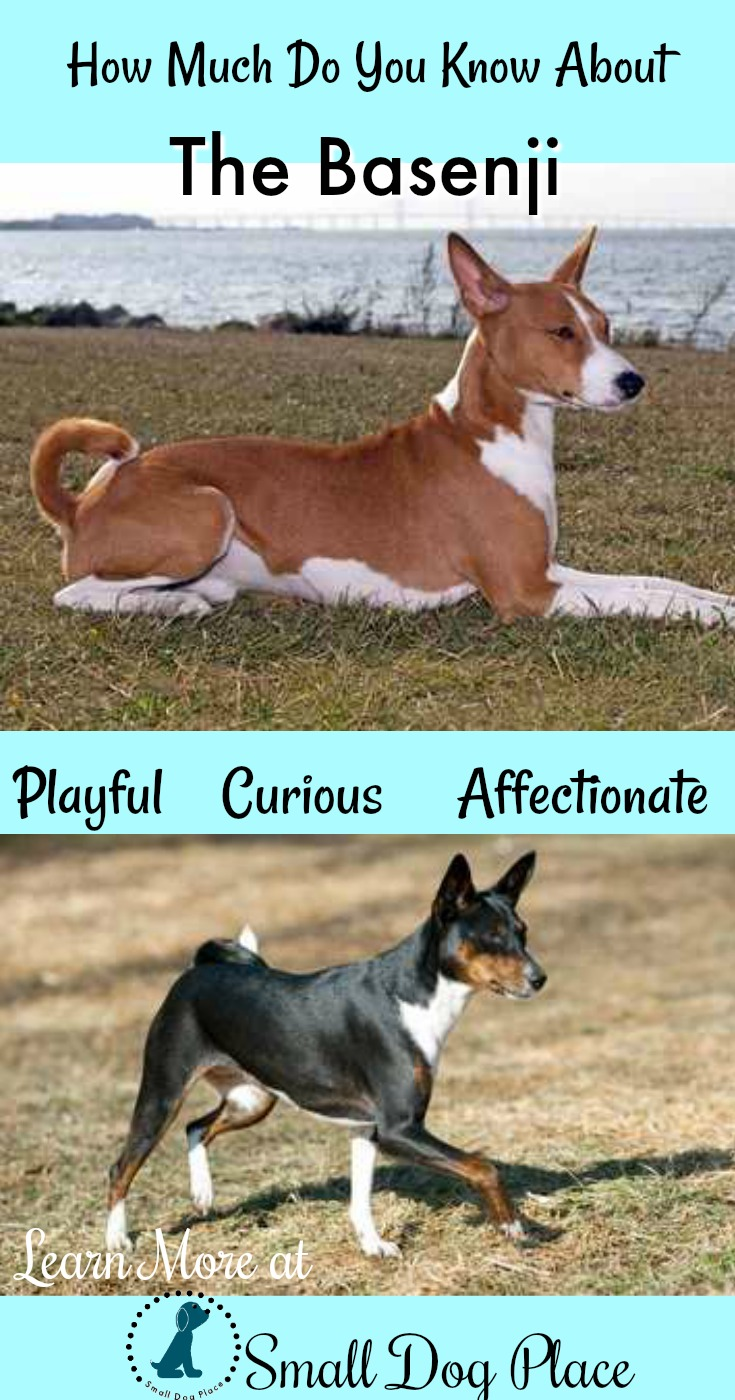 How Much Do You Know About the Basenji Dog Breed?