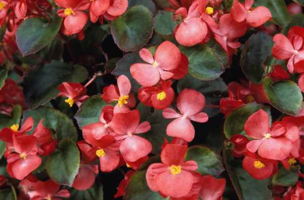The Begonia comes in many varieties and goes by many different names, but all of them are poisonous to dogs.