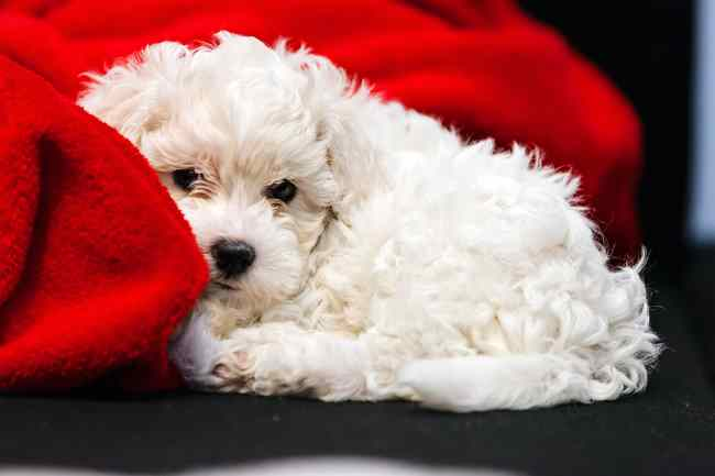 Small Bichon Frise is snuggled on a red blanket taking a nap.