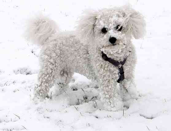 Bichon Frise in the Snow