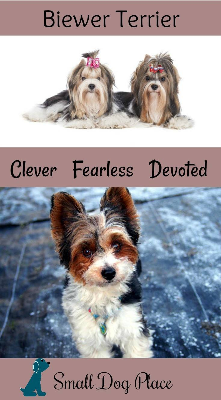 The Biewer Terrier - Clever, Fearless, Devoted - Small Dog Place