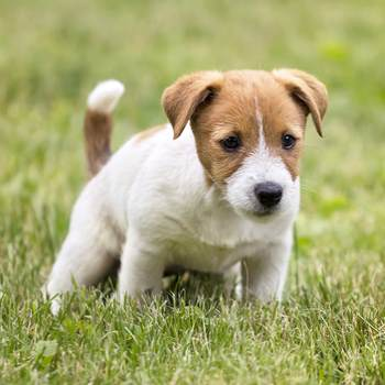 Bladder Infections in Puppies