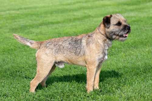 Grizzle Border Terrier