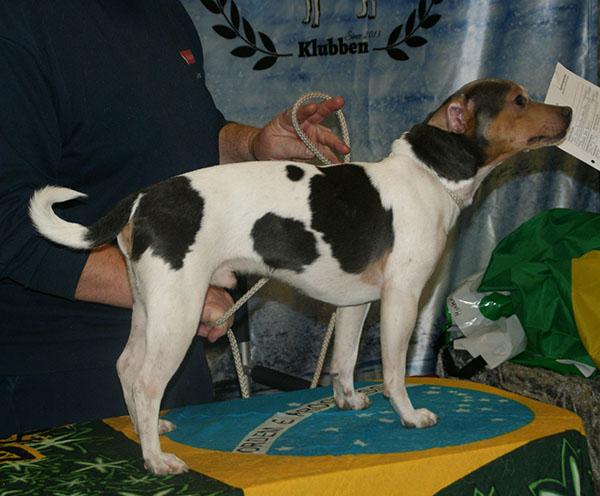 Brazilian Terrier Blue-Tricolor
