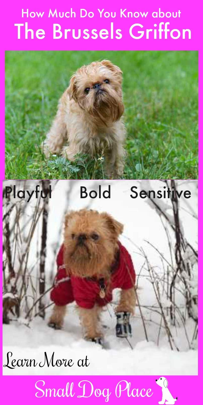 How much do you know about the Brussels Griffon?