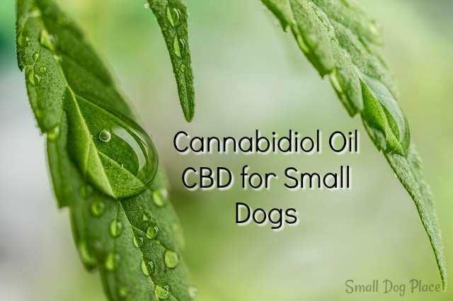 Cannabidiol Oil or CBD for Small Dogs