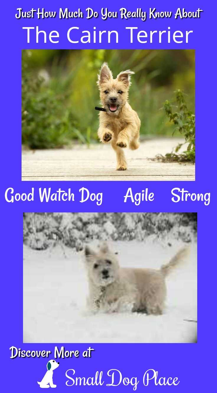 How Much Do You Know about the Cairn Terrier (Pin)