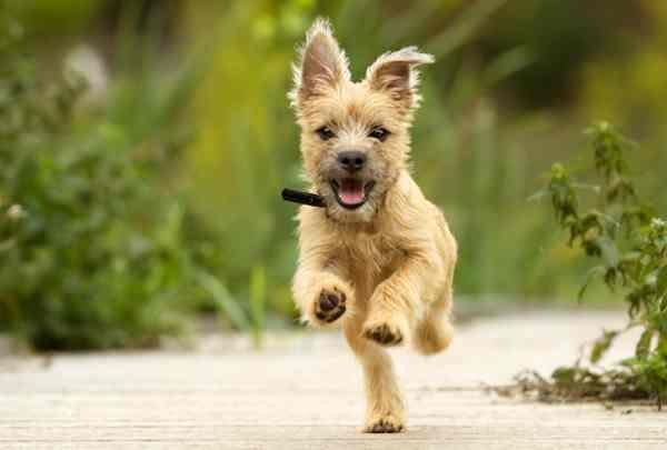 Cairn Terrier