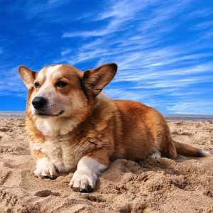 Cardigan Welsh Corgi lying on the sand