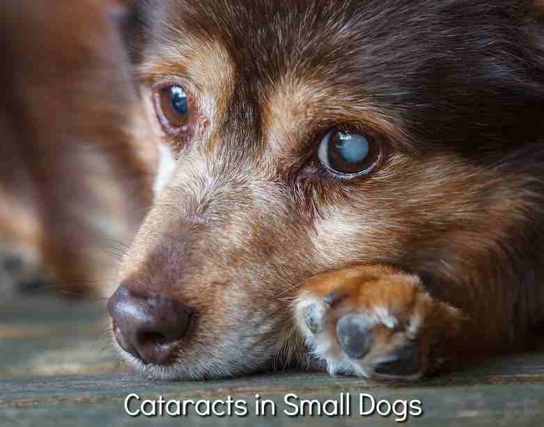Cataracts in Small Dogs