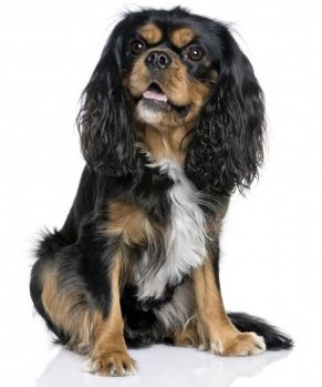 Popular Small Breed Dogs:  Cavalier King Charles Spaniel