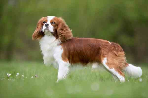 A Young Cavalier King Charles Spaniel is standing in the grass.