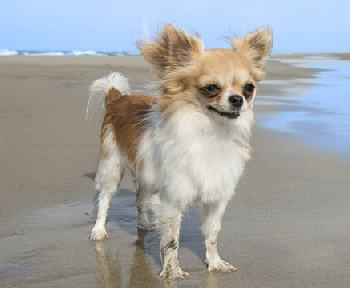 The small the breed, the longer the life?  Chihuahuas have been known to live to the ripe old age of 20.