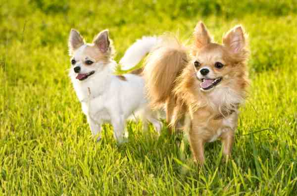 Two long-haired Chihuahua are standing in the grass