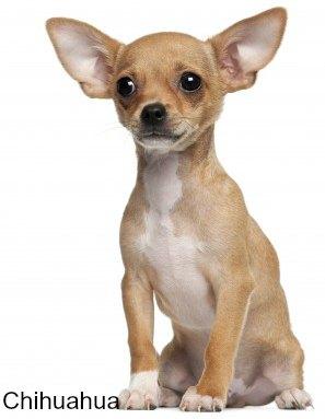 Chihuahua Dog Breed