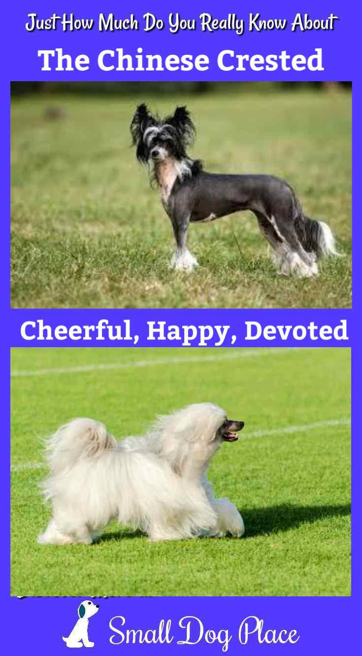 The Chinese Crested Dog Breed Profile