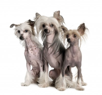 Three Hairless Chinese Crested Dogs
