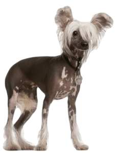 Srt-haired Small Dogs Breeds For Tse That Hate to Groom