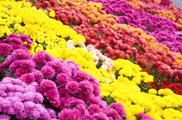 The Chrysanthemum plant is a Fall blooming perennial that comes in numerous varieties and many colors. It is toxic to dogs.