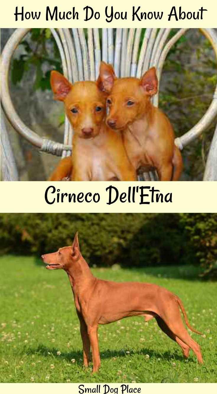 Cirneco Dell'Etna Dog Breed Profile