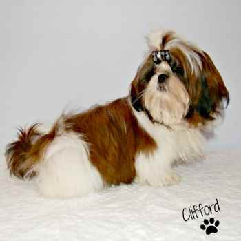 Red and White Shih Tzu Puppy