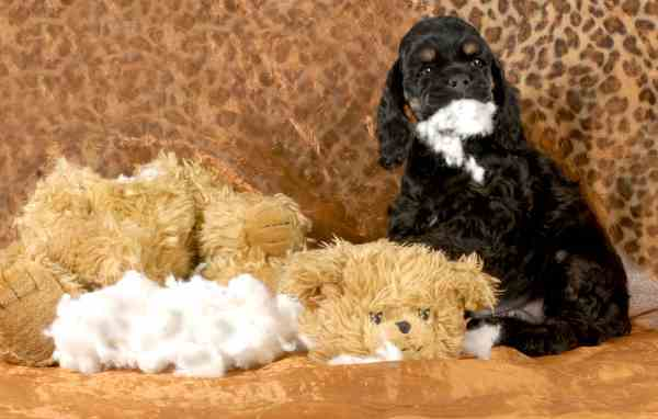 A Cocker Spaniel Puppy is tearing apart what looks to be the sofa and his toys.