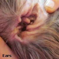 Severe ear infections can result in scratching and head shaking, resulting in injury to the outer ear flap.