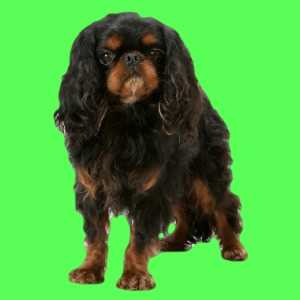 English Toy Spaniel on a green background