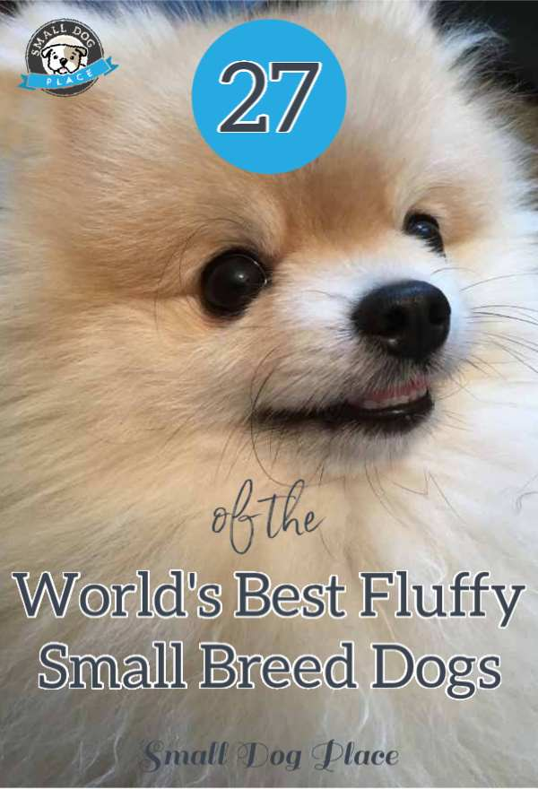 27 Of The World S Most Amazing Fluffy Small Breed Dogs