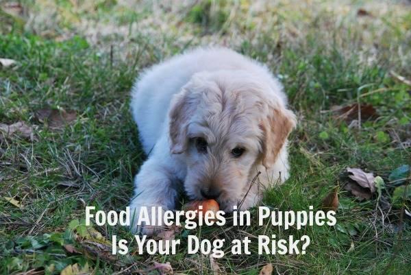 Food Allergies in Puppies - Header Image