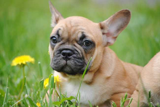 A French Bull Dog is laying in a field of grass and dandelions.