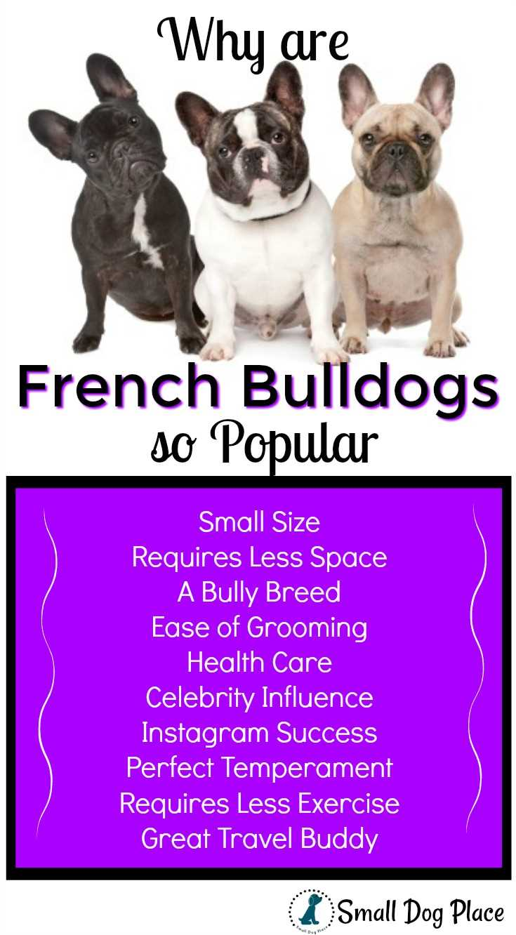 Why is the French Bulldog Dog Breed So Popular?