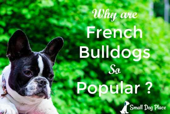 Why are French Bulldogs so Popular?