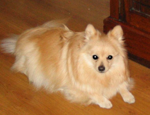 German Spitz Dog Breed Profile