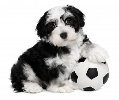 The Havanese Dog