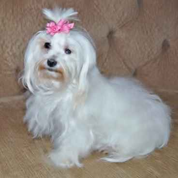 A Maltese Dog whose hair is beginning to grow out.
