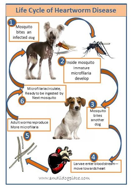 Heartworm Disease Life Cycle