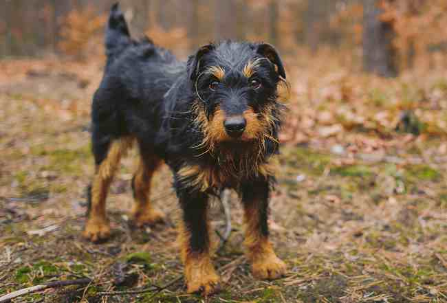 The German Hunting Terrier is bold, strong-willed, and intelligent.