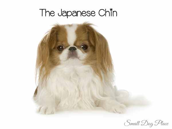 Red and White Japanese Chin
