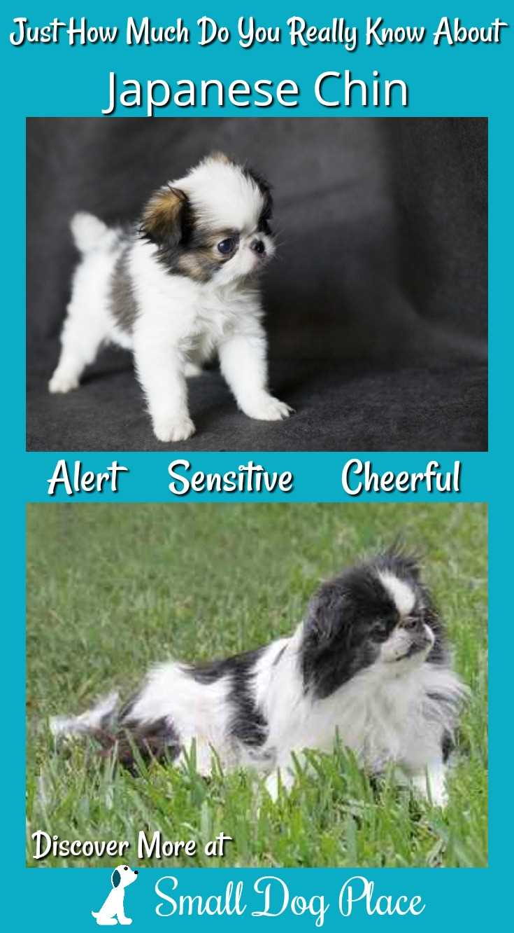The Japanese Chin, Affectionate, Mild Mannered and the best Lap Warmer