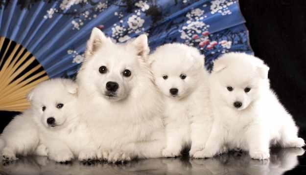 Japanese Spitz Dog Breed Information