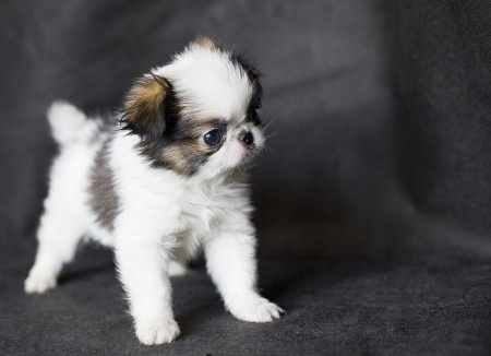 Japanese Chin Breed In...