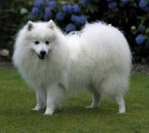 Japanese Spitz Dog Breed Information