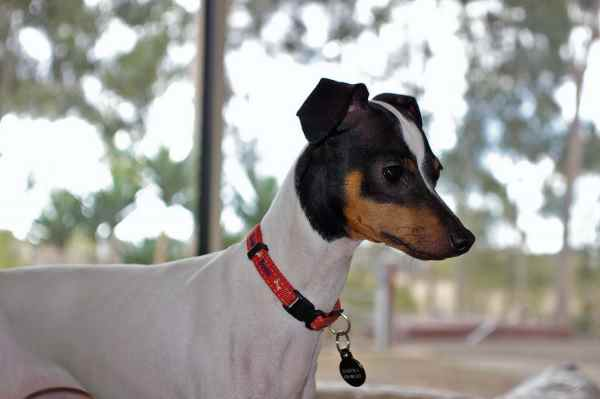 Japanese Terrier Dog Breed Profile